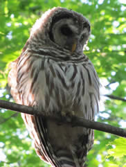 Barrred owl sitting on a branch